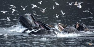 Humpback whales and gulls