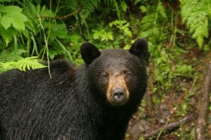Black Bear looking